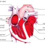 Человеческое сердце. Что мы знаем о нём?