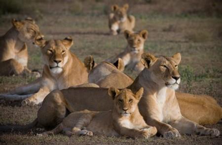 Прайд львов. Сложный уровень организации животных