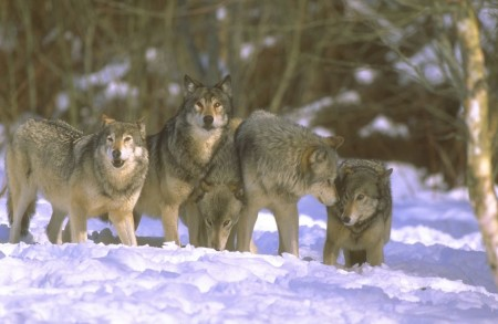 Волчья стая: выживание у хребтов Гималаев