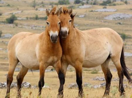 Лошадь Пржевальского. Путь от исчезновения до восстановления популяции