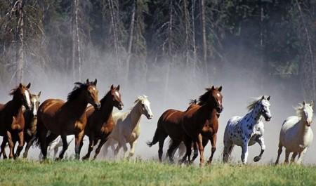 Стадный инстинкт. Жизнь табуна диких лошадей