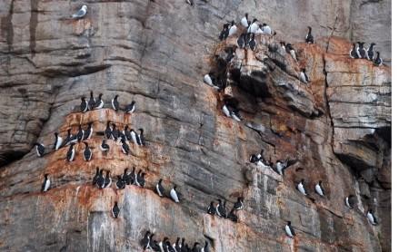 Кайры, гнездящиеся на скале